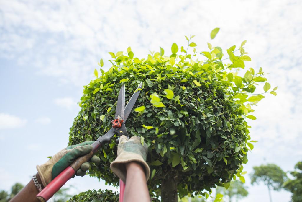 person trimming a bush
